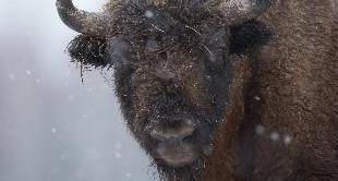 BISON OF POLAND (THE)